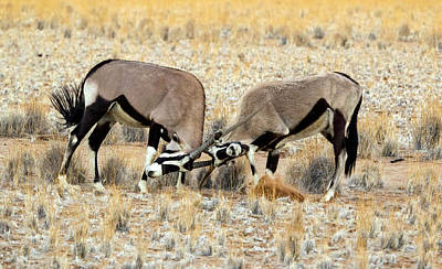 Two Male Oryx Locking Horns Print by Panoramic Images