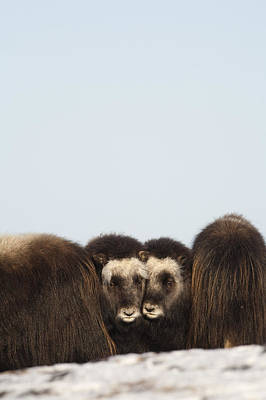 Middle Ground Photograph - Two Muskox Calves Protected In The by Milo Burcham