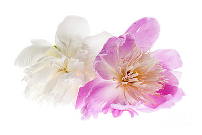 White Background Photograph - Two Peony Flowers by Elena Elisseeva