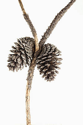 Pine Cones Photograph - Two Pine Cones One Twig by Carol Leigh
