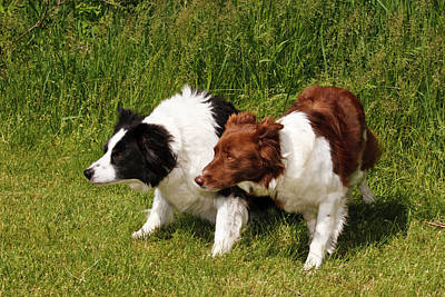 Two Purebred Border Collies, Crouched Print by Piperanne Worcester