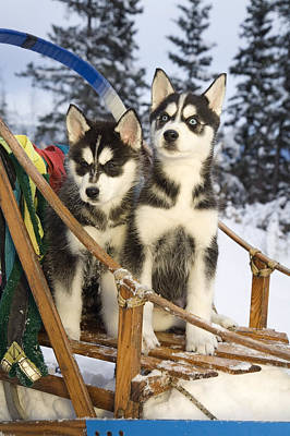 Two Siberian Husky Puppies Sitting In Print by Jeff Schultz