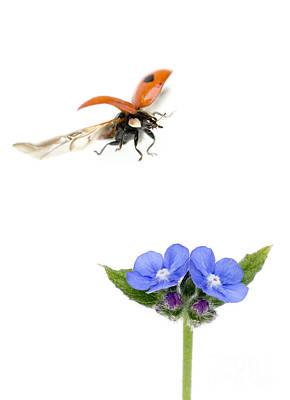 Two Spot Ladybug Print by Mark Bowler