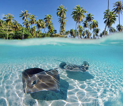Moorea Photograph - Two Stingrays 1 by M Swiet Productions