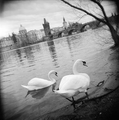 Reflections In River Photograph - Two Swans In A River, Vltava River by Panoramic Images