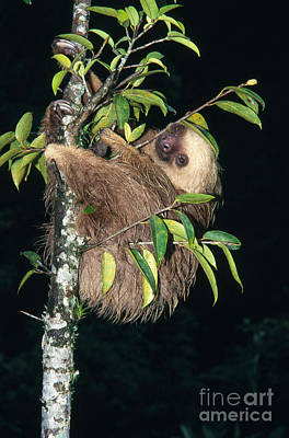Two-toed Sloth Choloepus Didactylus Print by Anthony Mercieca