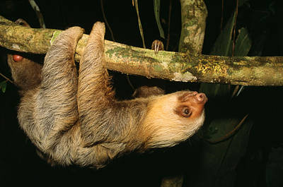 Two-toed Sloth Print by M. Watson