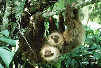 Two-toed Sloths Print by Gregory G. Dimijian