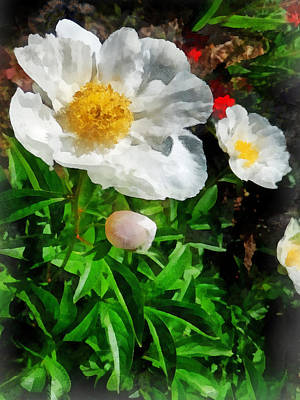 Poppy Photograph - Two White Poppies by Susan Savad