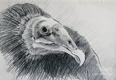Vulture Drawing - Unexpected Model by Rory Sagner