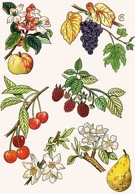 Cherry Drawing - Unidentified Montage Of Fruit by English School