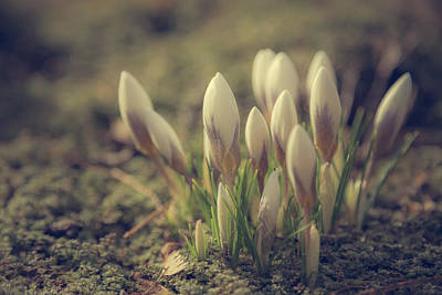 Crocuses Photograph - Unopened by Chris Fletcher