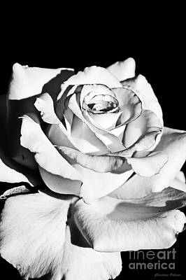 Rose Photograph - Untainted Love by Christina Ochsner