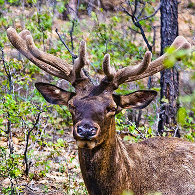 Yosemite National Park Digital Art - Up Close And Personal With An Elk by Bob and Nadine Johnston