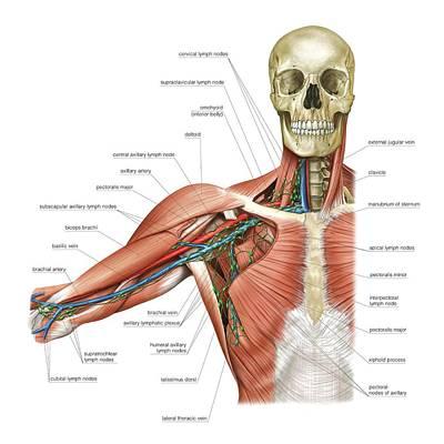 Upper Body Lymphoid System Print by Asklepios Medical Atlas