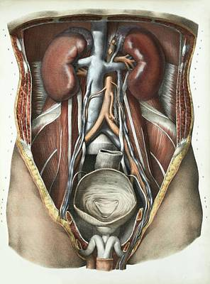 1839 Photograph - Urinary System by Science Photo Library