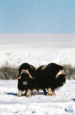 Usa, Alaska, Alaska North Slope, Arctic Print by Hugh Rose