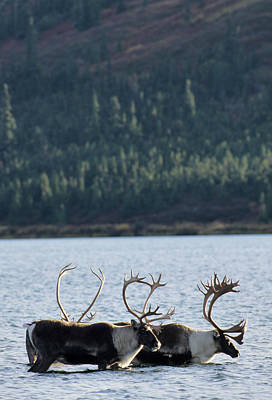 Usa, Alaska, Bull Caribou, Wonder Lake Print by Gerry Reynolds
