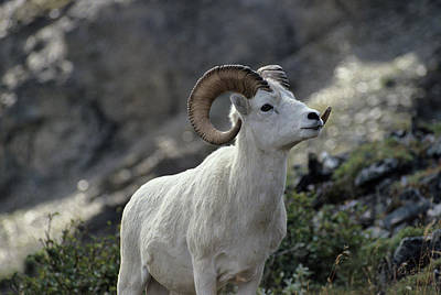 Reynolds Photograph - Usa, Alaska, Dall Sheep, Dall Ram by Gerry Reynolds