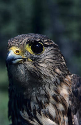 Net Photograph - Usa, Alaska, Merlin Falcon, Denali by Gerry Reynolds