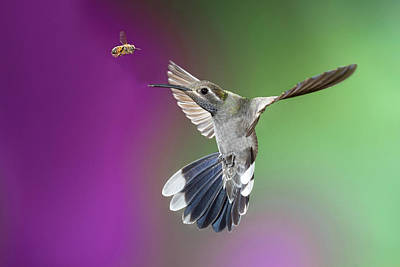 Magnificent Hummingbird - Eugenes Fulgens Photograph - Usa, Arizona, Madera Canyon by Jaynes Gallery