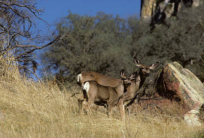 Reynolds Photograph - Usa, California, Mule Deer, Doe by Gerry Reynolds