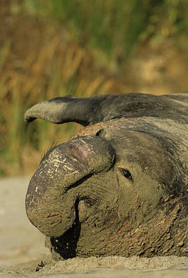 Ano Nuevo Photograph - Usa, California, Northern Elephant by Gerry Reynolds