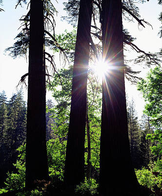 Usa, California Old-growth Red Fir Print by Jaynes Gallery