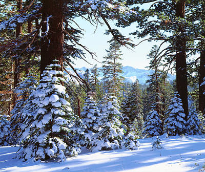 Usa, California, Snow-covered Red Fir Print by Jaynes Gallery