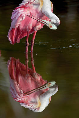 Spoonbill Photograph - Usa, Florida, Everglades National Park by Jaynes Gallery