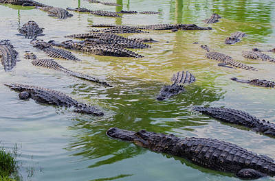 Alligator Photograph - Usa, Florida, Ochopee by Charles Crust
