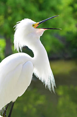 Usa, Florida Snowy Egret (egretta Thula Print by Michael Defreitas