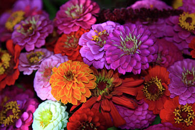 Property Released Photograph - Usa, Georgia, Savannah, Zinnia's by Joanne Wells