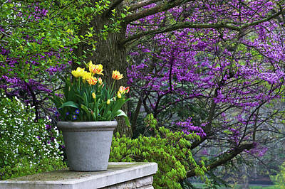 Redbud Photograph - Usa, Ohio Potted Tulips And Redbud Tree by Jaynes Gallery