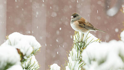 Usa, Oregon, Keizer, Dark-eyed Junco Print by Rick A Brown