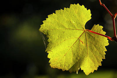 Usa, Oregon, Keizer, Pinot Gris Leaf Print by Rick A Brown