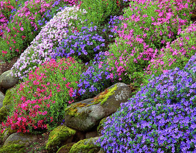 Phlox Photograph - Usa, Oregon, Portland, Slope by Jaynes Gallery