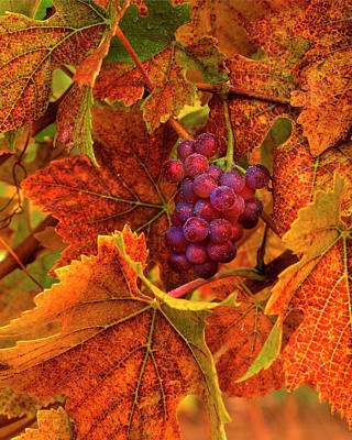 Pinot Noir Photograph - Usa, Oregon, Willamette Valley, Pinot by Jaynes Gallery