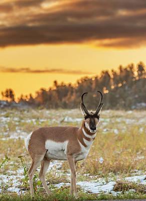 Pronghorn Photograph - Usa, South Dakota, Custer State Park by Jaynes Gallery