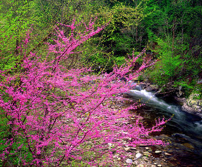 Redbud Photograph - Usa, Tennessee, Great Smoky Mountain by Jaynes Gallery