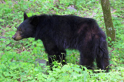 Usa, Tennessee, Young Black Bear Print by Joanne Wells