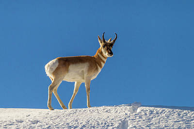 Pronghorn Photograph - Usa, Wyoming, Paradise Valley by Jaynes Gallery