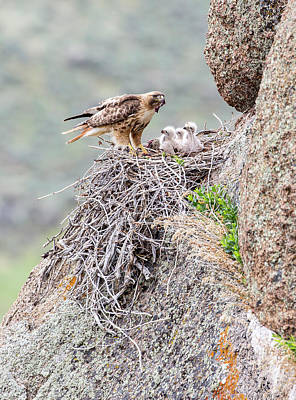 Red-tailed Hawk Photograph - Usa, Wyoming, Sublette County by Elizabeth Boehm