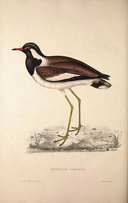 Lapwing Drawing - Vanellus Goensis, Plover Or Northern Lapwing. Birds by Quint Lox