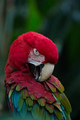 Parakeet Digital Art - Vanity-close Up Of A Green Winged Macaw by Eti Reid