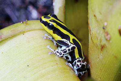 Bromeliad Photograph - Variable Poison Frog by Dr Morley Read