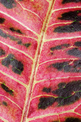 Variegated Photograph - Variegated Croton Leaf Abstract by Nigel Downer