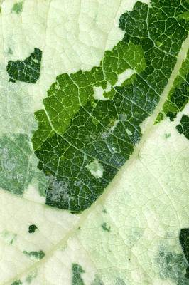 Variegated Photograph - Variegated Leaf Of Poplar 'aurora' by Dr Jeremy Burgess