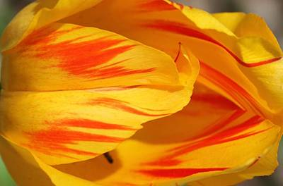 Photograph - Variegated Tulip 2 by  Andrea Lazar