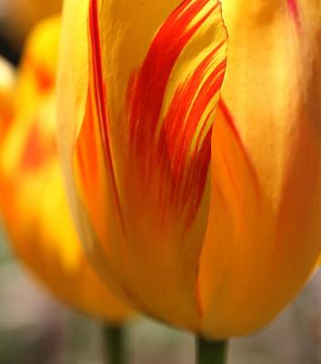 Photograph - Variegated Tulip by  Andrea Lazar